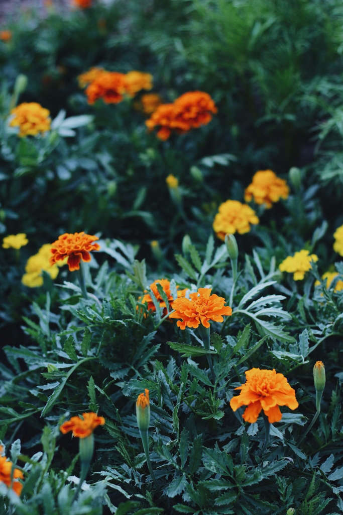 Marigolds to Keep Pests Away