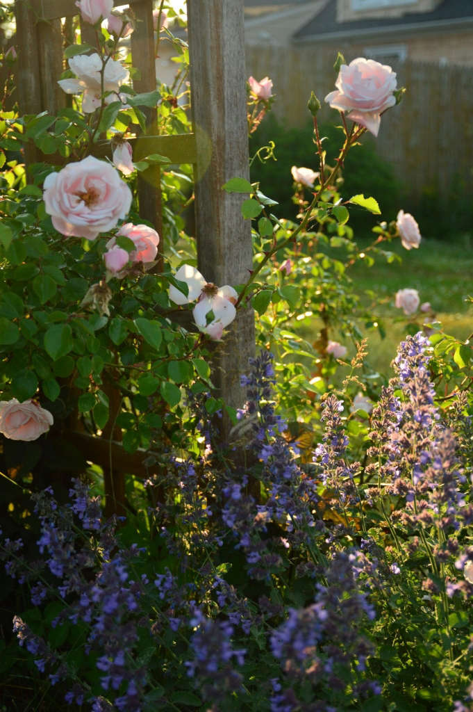 New Dawn roses and nepeta