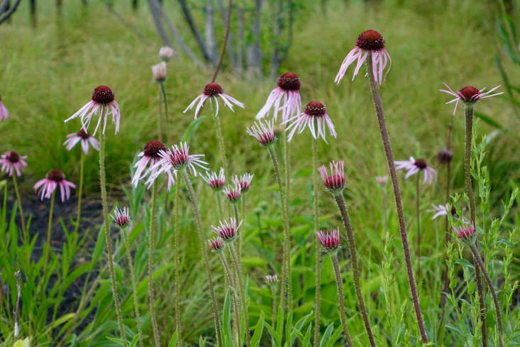 In a Maine seaside garden by Thomas Lynch Design, native Echinacea pallida is planted among Schizachyrium scoparium 'The Blues'. See more of this garden in our  \20\17 Considered Design Awards. Photograph courtesy ofThomas Lynch Design.