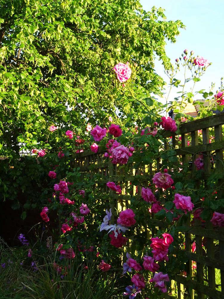 The Abundant Chaplin's Pink Rose