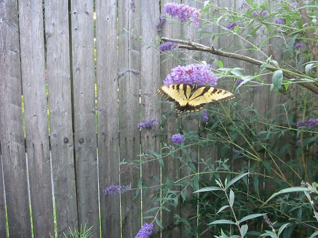 There's a reason why it's called a Butterfly Bush!