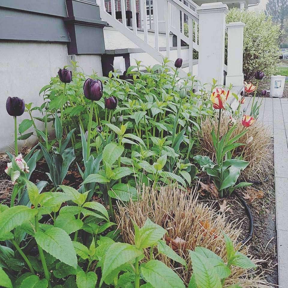 tulips_in_early_spring_2016.jpg