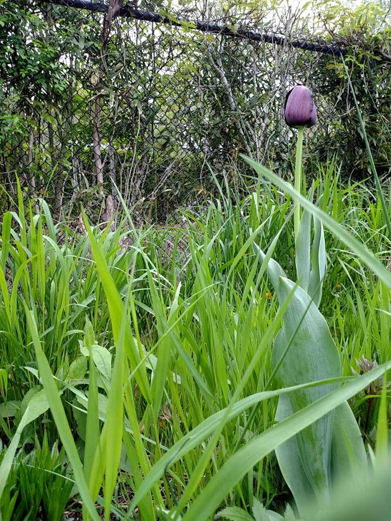 Black_Tulip_w_Green_grass.jpg