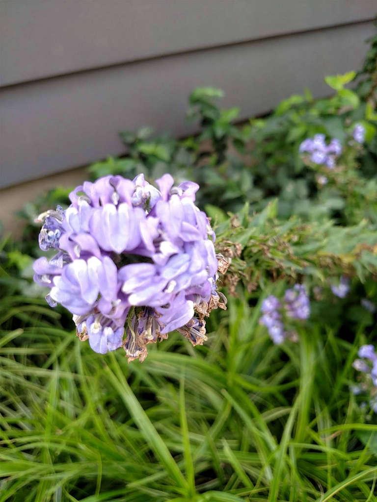 Blue_cardinal_flower_closeup.jpg
