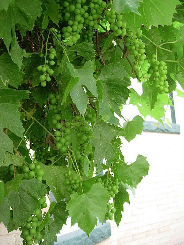 Grapes...