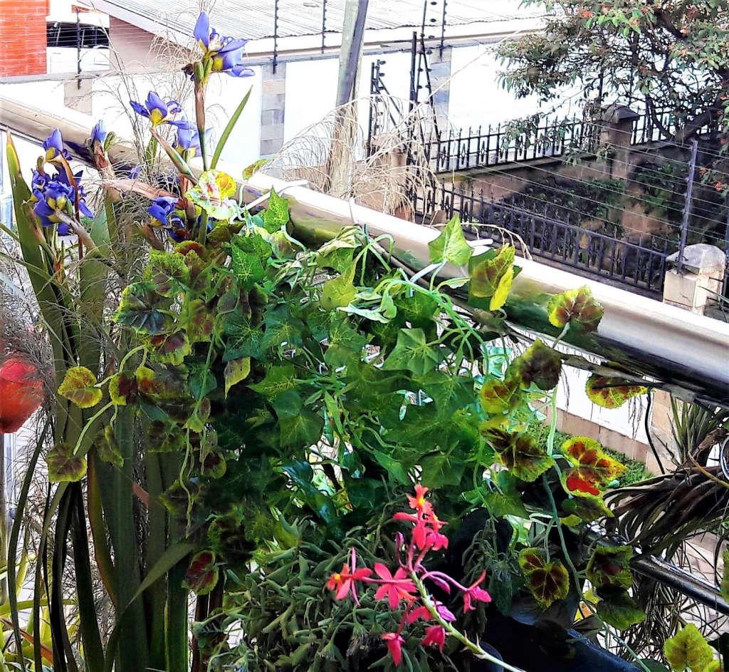 Sabi's Irises in bloom