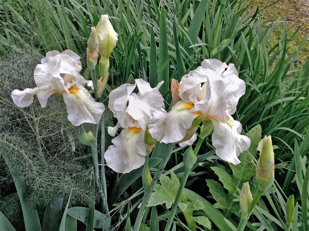 Passalong iris brought from Virginia