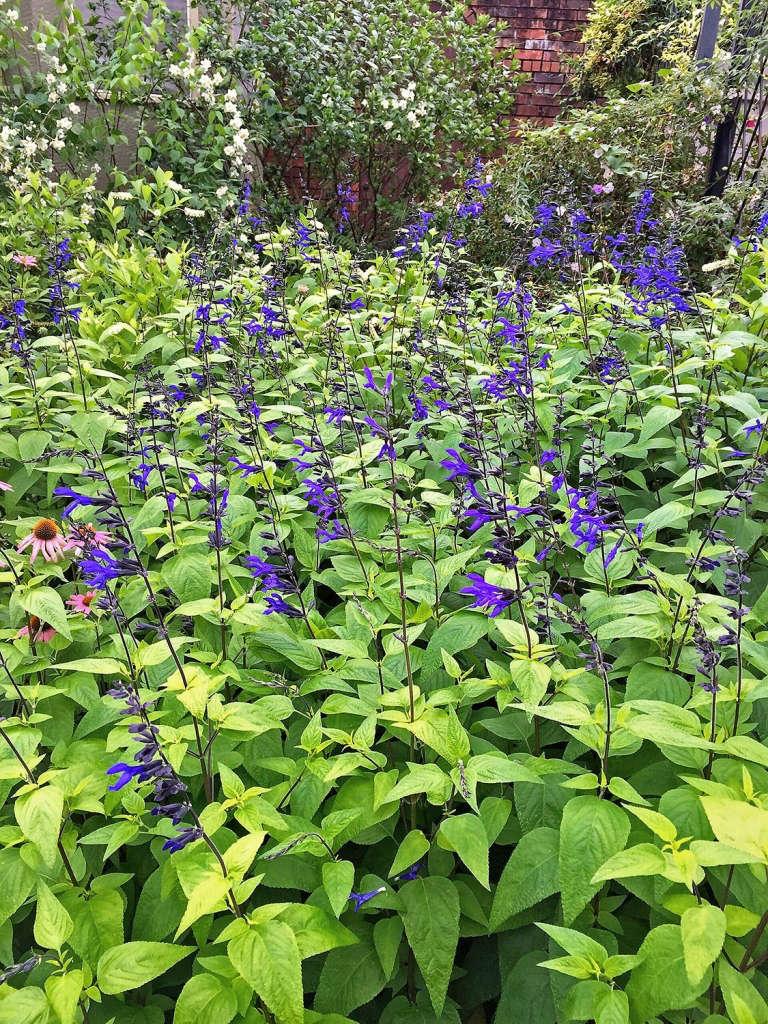 Salvia guaranitica 'Black and Blue' grove
