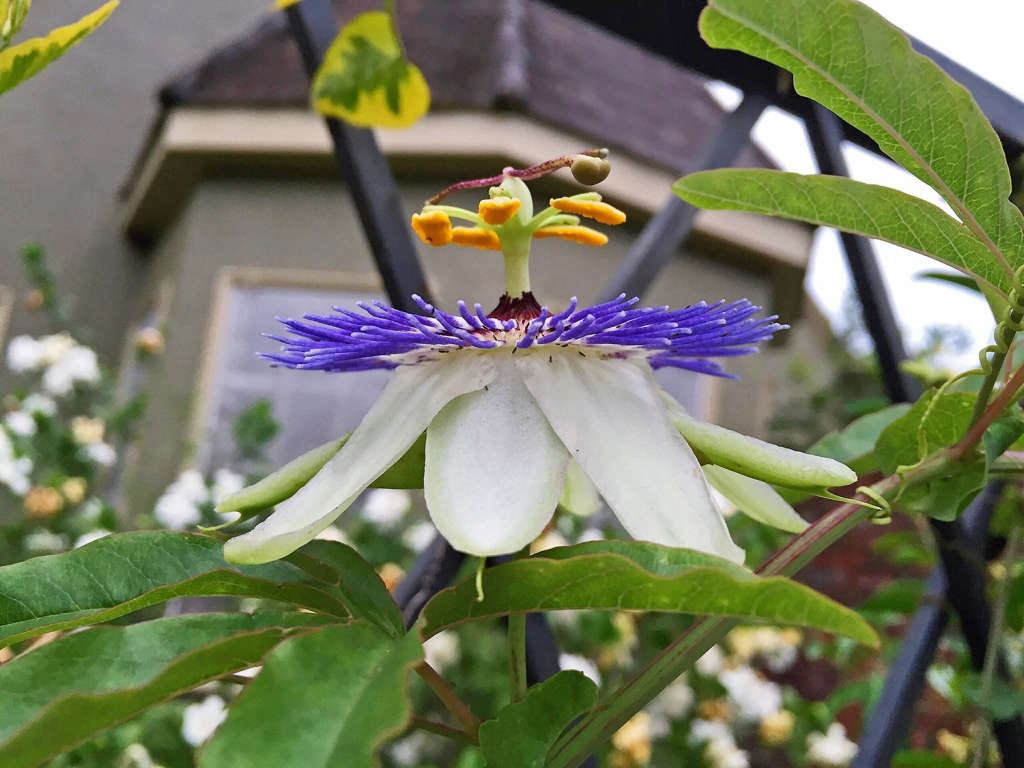 Passiflora on the trellis greets the morning