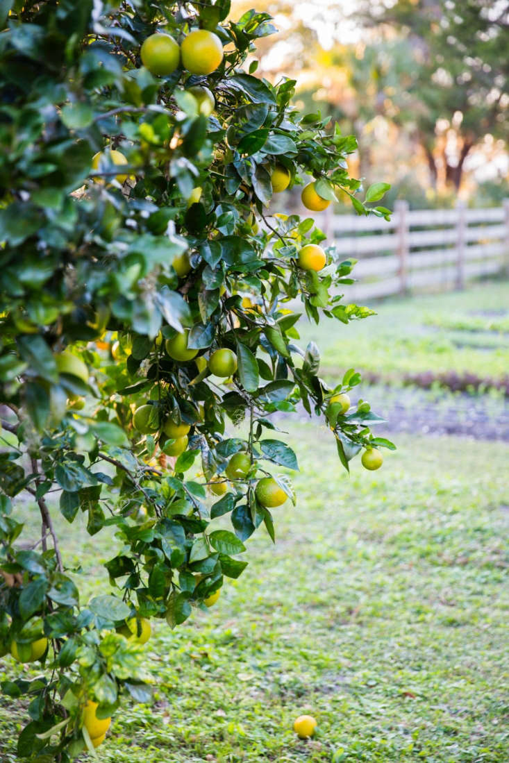 An established orange tree. Photograph by Gabe Hanway. See more of this Low Country Kitchen Garden in our  Considered Design Awards.